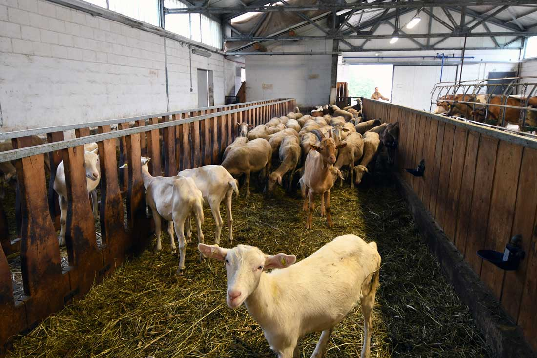 allevamento ovini Lago Como